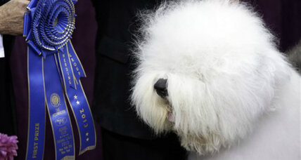 Westminster Dog Show, Monopoly kitten: What pet gets Valentine's Day love?