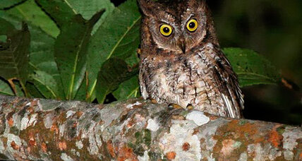 New owl species makes biologists' heads spin