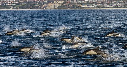Super mega dolphin pod off San Diego: Why the big party? (+video)