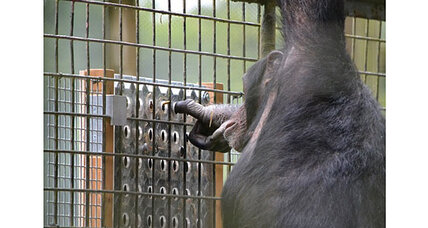 Chimpanzees enjoy brainteasers, say scientists