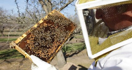 Fewer bees in US threaten almond crop