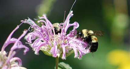 Plight of the bumblebee: Disappearance?