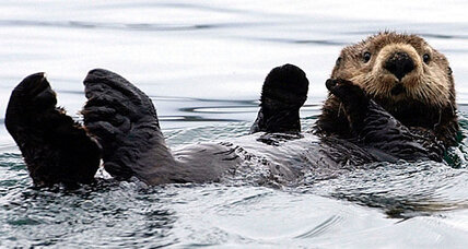 Alaska lawmaker wants $100 bounty on sea otters