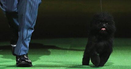 Best in show: Banana Joe the affenpinscher wins Westminster
