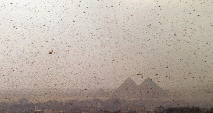 Egypt locusts put neighboring Israel on high alert