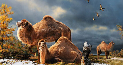 Humongous camels once roamed the Arctic, say scientists