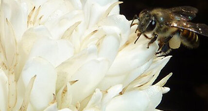 Caffeine in flowers helps boost a bee's memory, say scientists