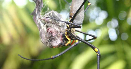 Spiders eat bats all the time, scientists reveal