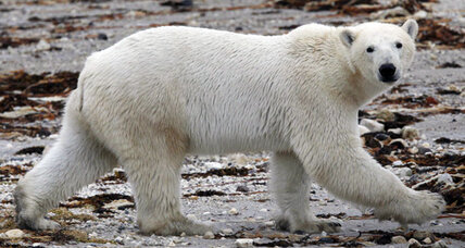 Warming Arctic: Receding ice leaves Hudson Bay polar bears less time to eat