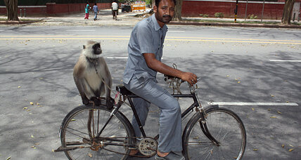 Delhi braces for return of some serious monkey business