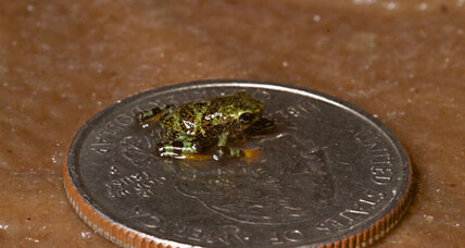 How efforts to save itty-bitty endangered frogs paid off