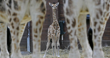Rare giraffe born at Connecticut refuge. It's a girl, and she needs a name