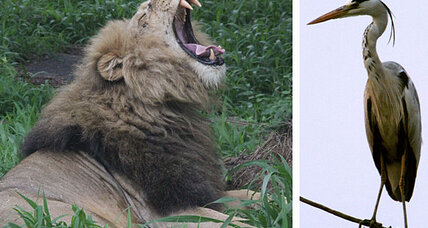 Lion kills heron: A stork reminder of big cats' wild nature