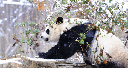 Veterinarians try artificial insemination on Giant Panda at National Zoo