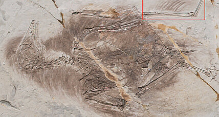 Four-winged birds? Feathery-legged fossils date back to dinosaur days.
