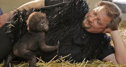 Gorilla raised by humans: Baby gorilla thriving in Ohio