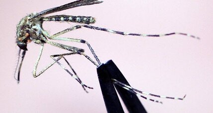Huge Florida mosquitoes: Monster insects are called 'Gallinippers'