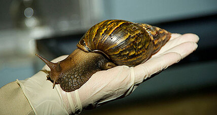 Giant African snail killed to protect Australian crops