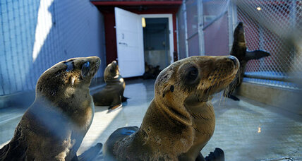 What is killing California sea lion pups? Why unusual event is a concern