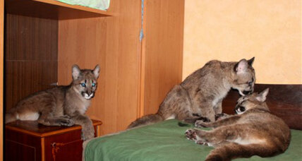 Kids with claws: Lithuanian woman shelters, cares for three pumas