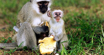 Monkeys imitate local food norms, study finds