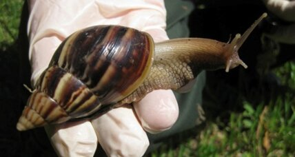 Giant snail invasion hits South Florida. Gooey mess.
