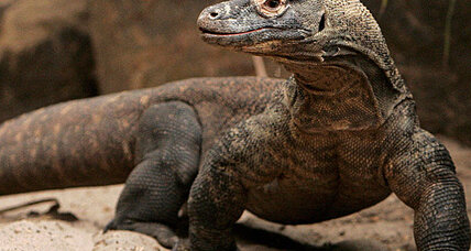 Komodo dragon attack repelled by woman with a broom