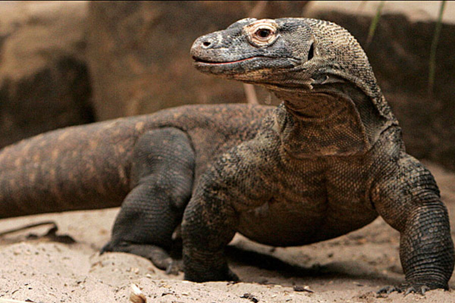 Komodo Dragons and Their Islands - Heptune Home Page