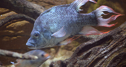 Fish seeks mate: London Zoo seeking open-minded female cichlid