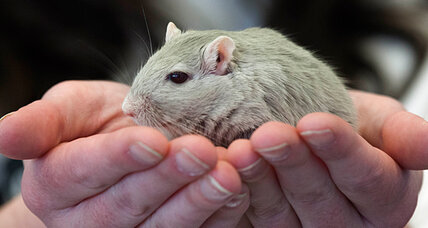 Gerbil, mouse astronauts perish on Russian spaceflight