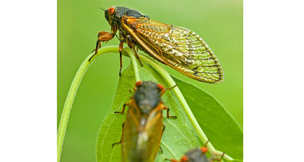 Cicadas now emerging on Staten Island