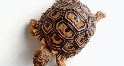 How did the turtle get its shell?