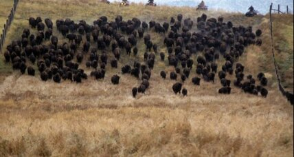 Ted Turner bison: Keep the calves, judge rules (+video)