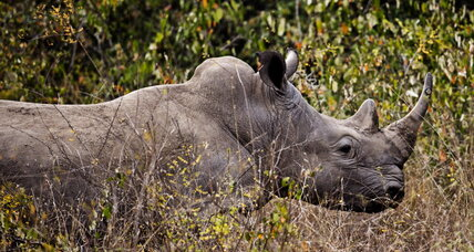 Rhino poachers, meet your match: poisoned pink food dye