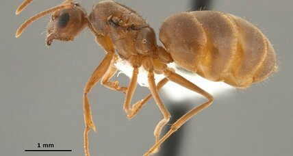 The South welcomes 'crazy ants.' Hail the latest invader.