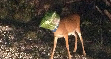 Deer Doritos bag: Police save fawn from snacks