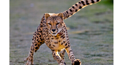 Cheetahs' speed is only half the story, study finds