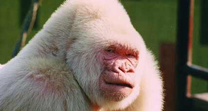 Albino gorilla was product of inbreeding, finds study