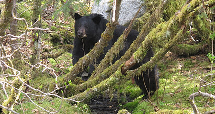 Bear mauls man: Animal was 'goaded' into attack