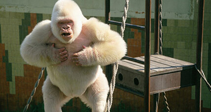 Albino gorilla was inbred, say scientists