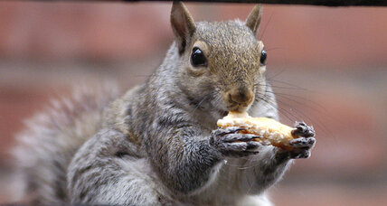 Why squirrels are nuts about solar panels