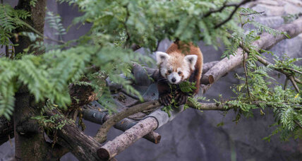 Rusty the red panda: The Edward Snowden of zoo animals?