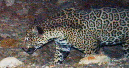 Arizona jaguar? Photos show rare big cat near Tucson.