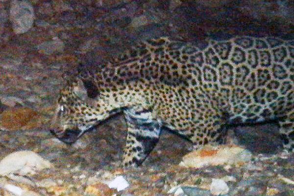 Tucson's Jaguar 0628-jaguar