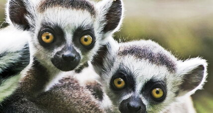 Social lemurs make better larcenists, scientists say