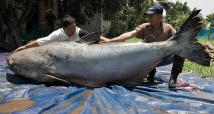 Rare giant catfish faces new threat in Southeast Asia's Mekong