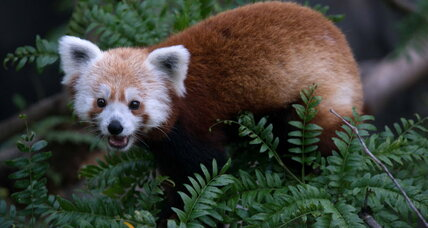 Red panda missing: Rusty the panda is found
