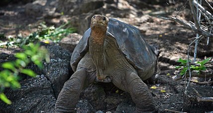 Lonesome George, famous Galápagos tortoise, to be preserved: why he's a symbol
