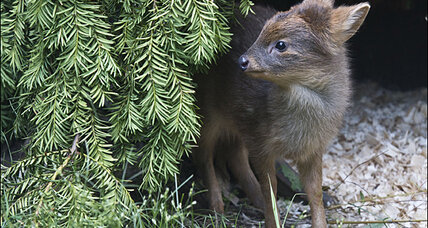 Pudu deer is world's smallest (and cutest?) deer