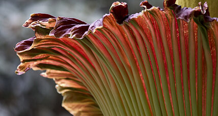 Corpse flower: Missed it in D.C.? There's another in California.